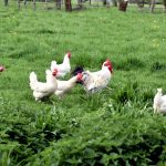 Hühner auf dem Biobauernhof Hehle in Hörbranz