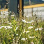 Niggbus: Blumenwiese  Eine große Blumen-Vielfalt zeigt sich auf den Wiesen am Betriebsgelände von Niggbus.  Copyright: Niggbus GmbH. Fotograf: Markus Gmeiner. Abdruck honorarfrei zur Berichterstattung über Niggbus. Angabe des Bildnachweises ist Voraussetzung.